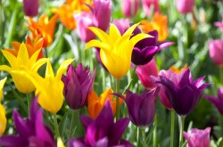 colorful-lily-flowering-Tulips-iStock-000016366381XSmall_thumb